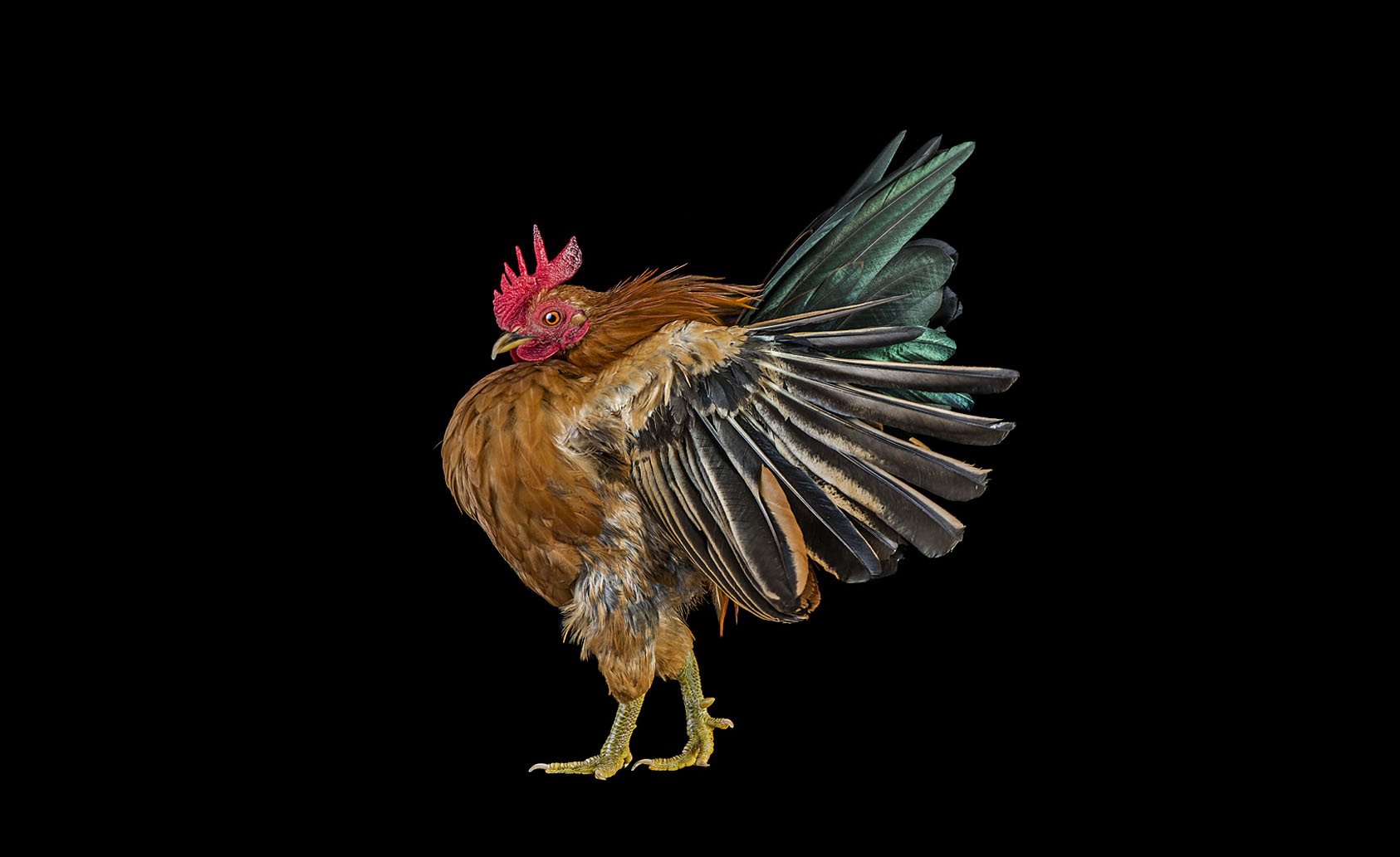 2012_002_ErnestGoh_Chicken_ERN1156