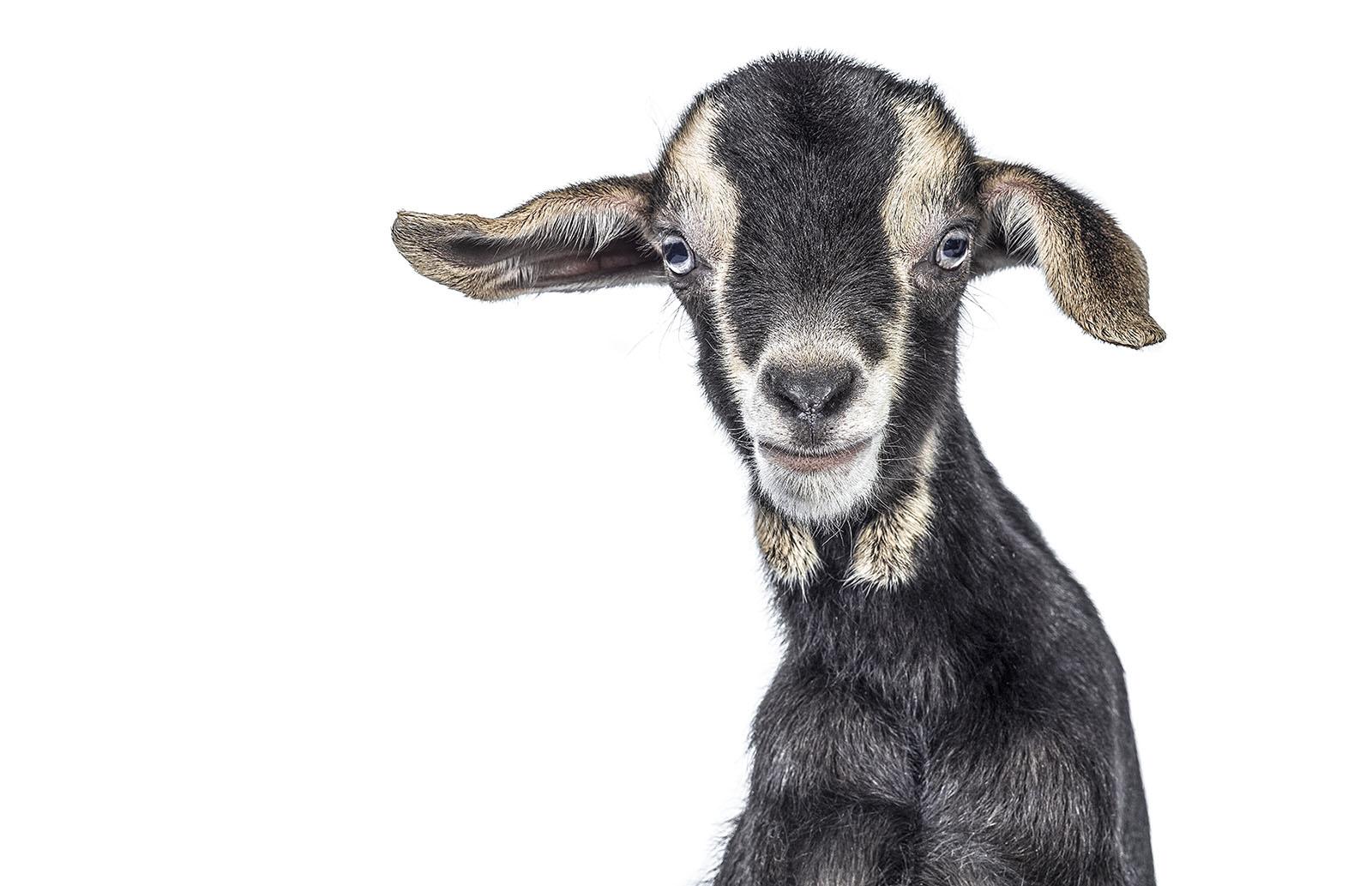 2014_011_ErnestGoh_HayDairies_Goat-419A-2