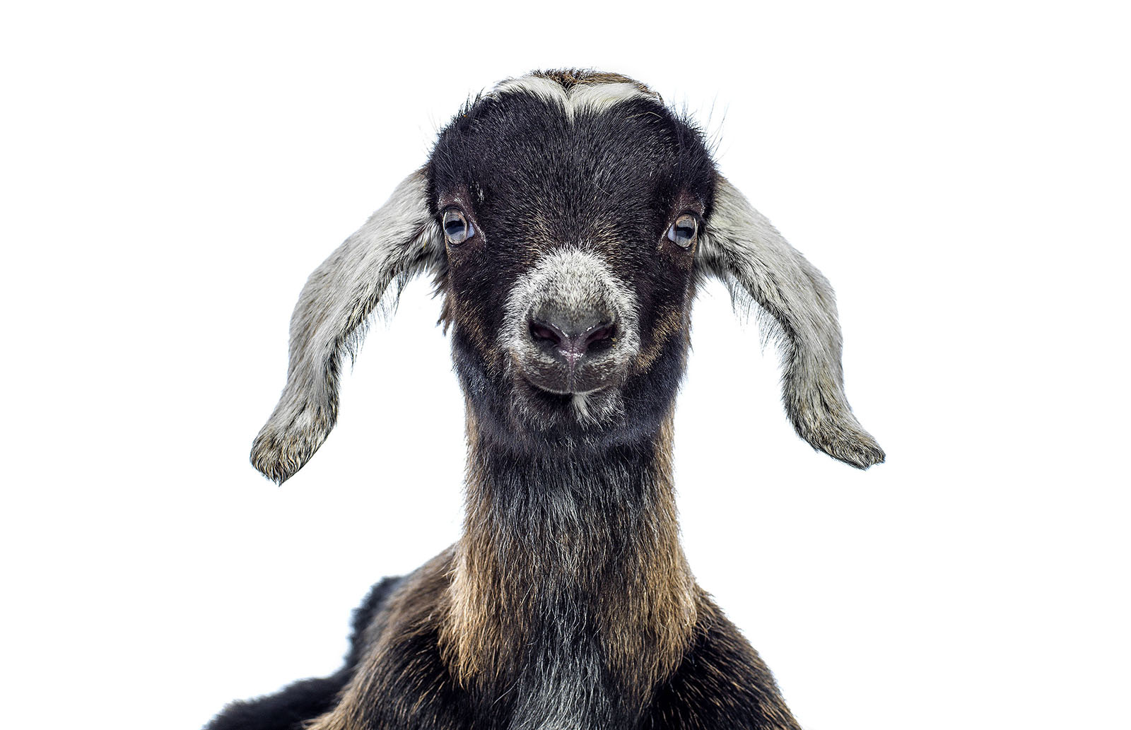 2014_011_HayDairies_Goat-370 square